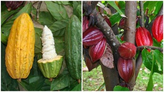 Сорта какао-бобов